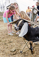 Cornwall, New York  - A dairy goat relaxes on a chair while children gather around a younger goat at Edgwick Farm in Cornwall on April 15, 2012. The farm uses milk from the goats to produce artisan cheese.