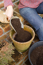 Planting tulip bulbs in a pot - covering with compost