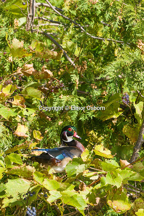 male wood duck in grape vines