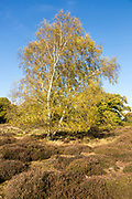Silver birch, Betula pendula, heath vegetation in Suffolk Sandlings heathland, Sutton, Suffolk, England, UK