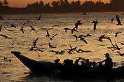 A colony of seagulls follow a commuter boat at sunset, Yangon River