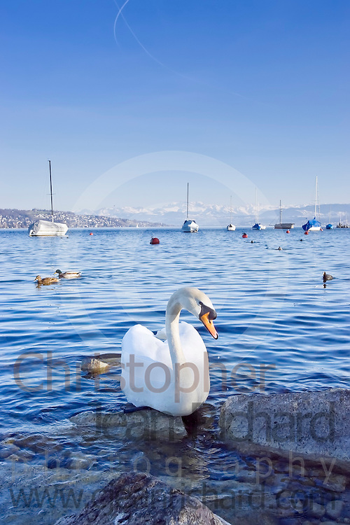 Swan floating on the Lake of Zurich with a view of anchored sailboats and distant mountains in the background.