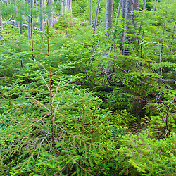 The spruce-fir forest near Little Berry Pond in Maine's Northern Forest. Cold Stream watershed, Johnson Mountain Township.