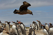 Die erwachsenen Eselspinguine (Pygoscelis papua) einer Brutkolonie wehren gemeinsam den Anflug einer Raubmöwe (Catharacta antarctica) ab. | Tha adult Gentoo Penguins (Pygoscelis papua) within the rookery point their beaks to ward off the approach of a Brown Skua (Catharacta antarctica).