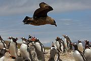Die erwachsenen Eselspinguine (Pygoscelis papua) einer Brutkolonie wehren gemeinsam den Anflug einer Raubmöwe (Catharacta antarctica) ab. | Tha adult Gentoo Penguins (Pygoscelis papua) within the rookery point their beaks to ward off the approach of a Brown Skua (Catharacta antarctica).