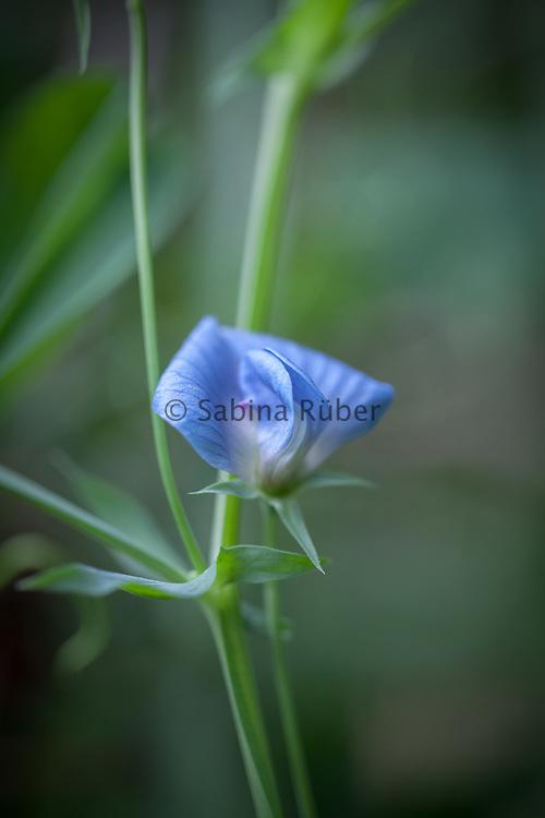 Lathyrus sativus var. azureus - grass pea