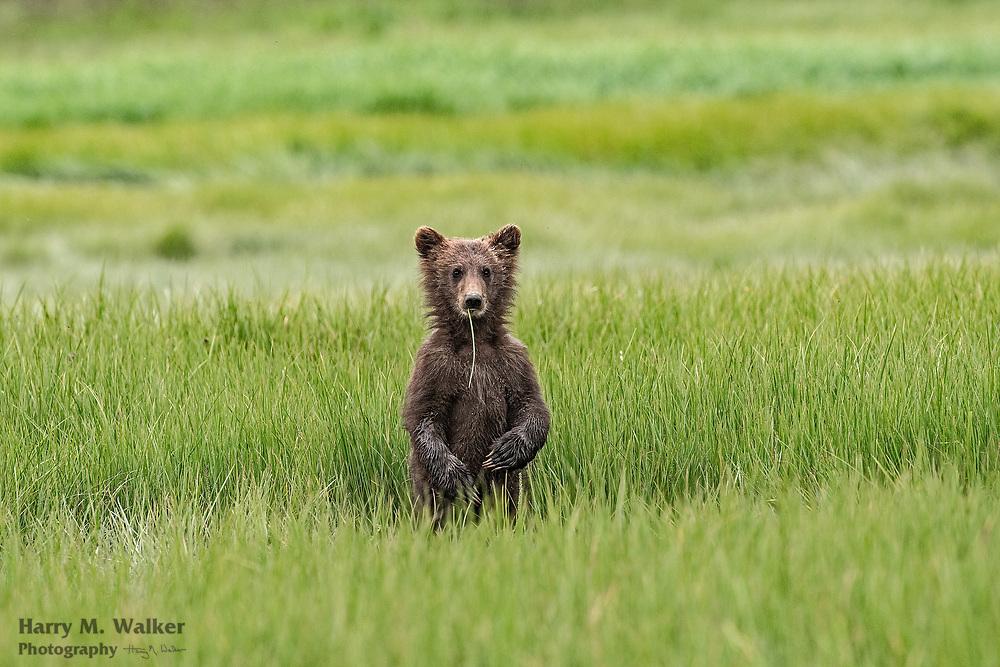 Brown bear Spring cub; Ursus arctos; eating sedge in sedge meadow at Kukak Bay  in Katmai National Park Alaska