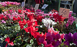 Brilliantly colored cyclamen as well as other bright flowers bring top dollar at Villeneuve lez Avignon's open market. Thursdays are market day in this interesting small town across the Rhone River from Avignon.  Easily accessed by city bus, the market offers the freshest of locally grown foods, along with a wide variety of crafts and clothing, a good stop for regional souvenirs.