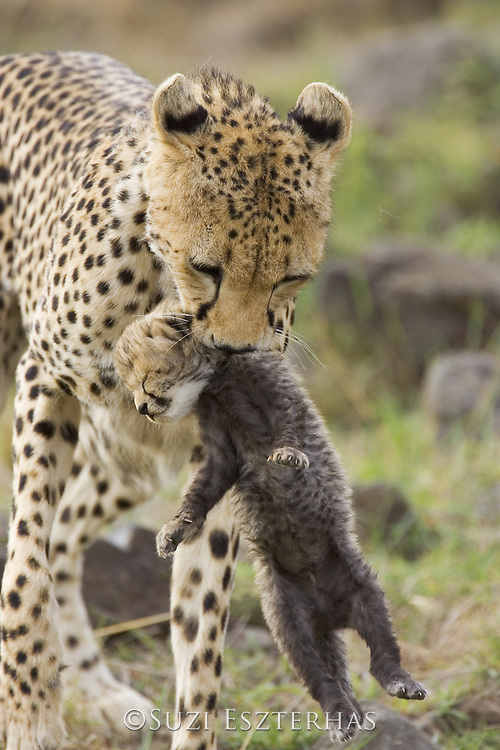 Cheetah<br /> Acinonyx jubatus<br /> Female carrying 16 day old cub<br /> Maasai Mara Reserve, Kenya