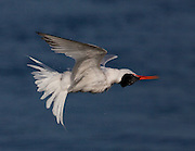 After a tern dives in the water to fish, they will shake the water off as they fly off.  This tern was caught mid-shake.