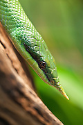 A closeup of a Rhinoceros Ratsnake (Rhynchophis boulengeri). This snake which is also known as a Unicorn Snake, can be found from Vietnam to Southern China where it lives in subtropical rainforests.