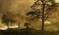 Scot's pine Pinus sylvestris, trees in mist at sunrise, Beinn Eighe NNR, Torridon, North-west Scotland