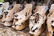 Poached rhino skulls on display, Mkhaya Game Reserve, Swaziland