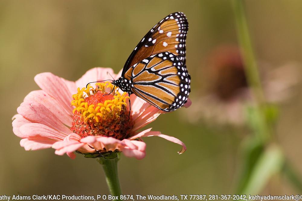 Queen butterfly on zinna, in the autumn, Ft. Davis, Texas.