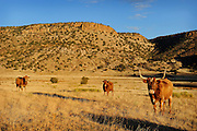Longhorn cattle in a dry field in the panhandle of Oklahoma