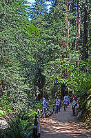 Muir Woods is world famous for its redwoods, Sequoia sempervirens. it is  located in the midst of a metropolitan region just eight miles north of San Francisco. 201304302164<br /> <br /> Copyright Image from Victor Patterson,<br /> 54 Dorchester Park, <br /> Belfast, UK, BT9 <br /> <br /> t1: +44 28 9066 1296 (from Rep of Ireland 048 90661296)<br /> t2: +44 28 9002 2446 (from Rep of Ireland 048 9002 2446)<br /> <br /> m: +44 7802 353836<br /> <br /> e: victorpatterson@me.com<br /> www.victorpatterson.com<br /> <br /> Please see my Terms and Conditions of Use at www.victorpatterson.com. It is IMPORTANT that you familiarise yourself with them.<br /> <br /> Images used on the Internet must be visibly watermarked i.e. © Victor Patterson<br /> within the body of the image and copyright metadata must not be deleted. Images <br /> used on the Internet have a size restriction of 4kbs and will be chargeable at current<br />  NUJ rates unless agreed otherwise.<br /> <br /> This image is only available for the use of the download recipient i.e. television station, newspaper, magazine, book publisher, etc, and must not be passed on to any third <br /> party. It is also downloaded on condition that each and every usage is notified within 7 days to victorpatterson@me.com<br /> <br /> The right of Victor Patterson to be identified as the author is asserted in accordance with The Copyright Designs And Patents Act (1988). All moral rights are asserted.