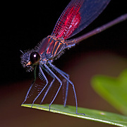 Damselfly, , Bocawina Falls, Mayflower Park, Belize