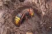 European Hornet; Vespa crabo; hibernating; PA, Philadelphia, Fairmount Park, Wissahickon