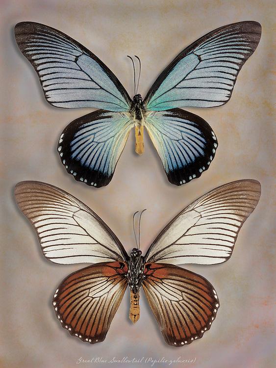 Great Blue Swallowtail (Papilio zalmoxis) / #LPD201.2b_RV