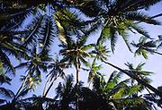 Palm trees, Kadavu, Fiji<br />