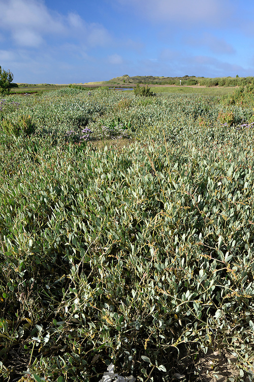 Sea Purslane (Atriplex portulacoides) at Holme Nature Reserve on the Norfolk coast. Height to 1m. Spreading, mealy perennial that sometimes forms rounded clumps. Entirely coastal, and restricted to drier reaches of saltmarshes. FLOWERS are yellowish and borne in spikes (Jul-Oct). FRUITS are lobed. LEAVES are grey-green and oval at the base but narrow further up the stem. STATUS-Widespread and locally common.