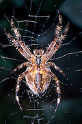 A female garden spider (Araneus diadematus) on an old web. In a garden in NE Portland, Oregon.