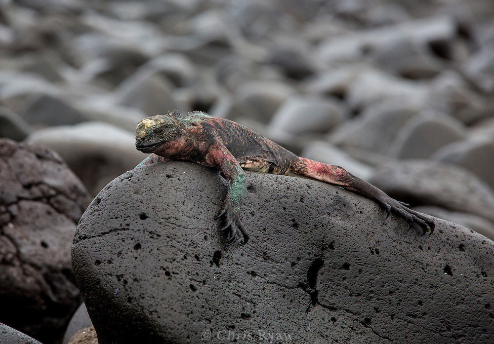 Colorful Marine Iguana basking on rock, (Amblyrhynchus cristatus), Galapagos