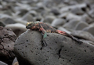 Colorful Marine Iguana basking on rock, (Amblyrhynchus cristatus), Galapagos