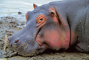 Hippo face up close lounging on riverbank