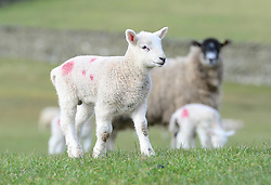 © Licensed to London News Pictures. 11/03/2016. Sedbergh, UK. A lamb stands in the spring sunshine near Sedbergh, Cumbria. Photo credit : Anna Gowthorpe/LNP