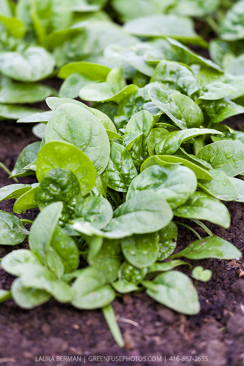 Bright direct-sown spinach seedlings in the garden in early spring.