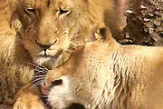African lions -- male & female -- cuddling together on a warm afternoon.