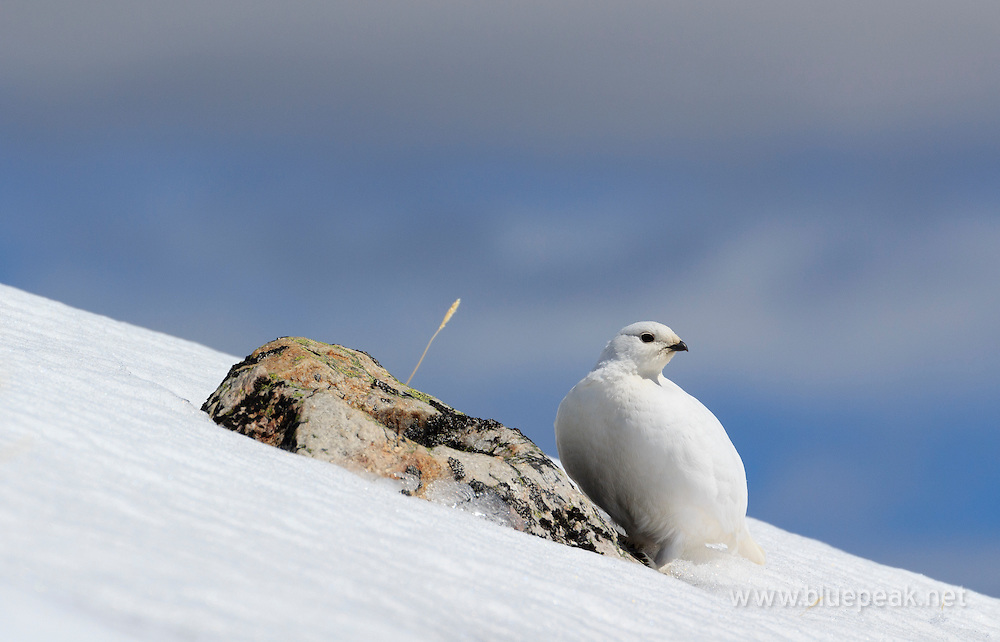 Female white-tailed ptarmigan, Lagopus leucura, on Whisters Summit, Jasper National Park.