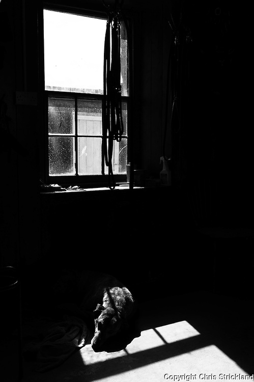 Abbotrule, Bonchester Bridge, Hawick, Scotland, UK. 9th July 2015. A lurcher rests below a window in the summer afternoon sunlight.