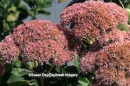 "63821-02808 Sedum spectabile, ""Autumn Joy""  flower Marion Co.   IL"