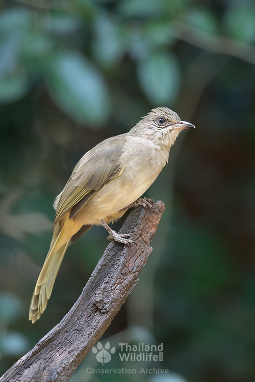 The grey-eyed bulbul (Iole propinqua) is a species of songbird in the bulbul family, Pycnonotidae. It is found in Southeast Asia in its natural habitat of subtropical or tropical moist lowland forests.