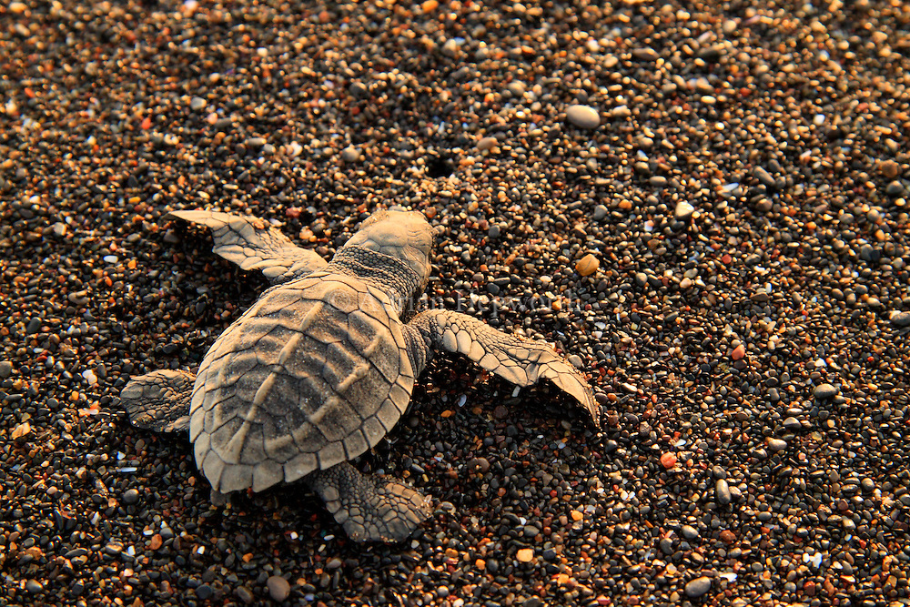 Olive Ridley Turtle hatchling (Lepidochelys olivacea)..Ostional Wildlife Refuge, Guanacaste, Costa Rica.<br />