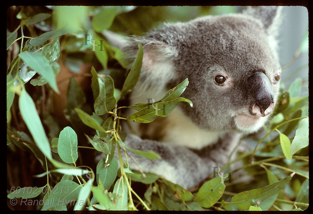 Adult male koala peers out amid eucalyptus leaves in its cage at Univrsty of Queensland; Brisbane Australia