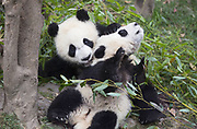 Giant Panda<br /> Ailuropoda melanoleuca<br /> 6-8 month-old cubs playing<br /> Chengdu Research Base of Giant Panda Breeding, Chengdu, China<br /> *captive