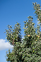 Apple trees in an orchard in upstate New York.