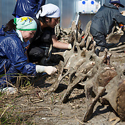Scientists, students and volunteers engaged in cleaning the bones of an 18-meter long female fin whale (Balaenoptera physalus) that was found floating in Tokyo harbor in early 2012 and buried for about 16 months to facilitate decomposition. Even with the passage of so much time, there was still significant soft tissue and a power odor. Pictured here are the rear vertebrae.