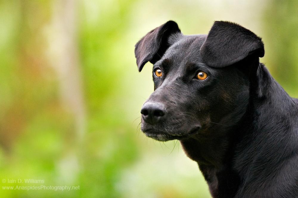 """""""Miss Tara Black Dog"""" - Tasmania"""