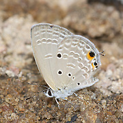 The Plains Cupid, Chilades pandava, is a species of blue butterfly found in Asia.
