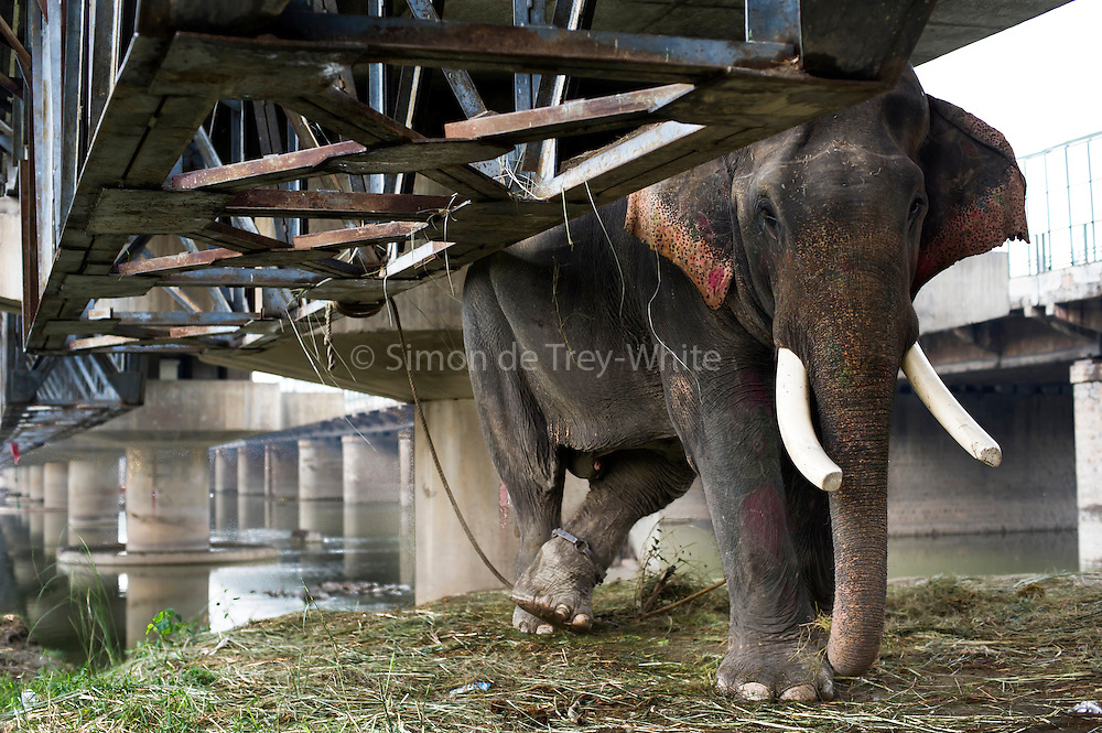 28th August 2014, Yamuna River, New Delhi, India. A male elephant tethered by a rope and a shackle with spikes inside under a bridge crossing the Yamuna River, New Delhi, India on the 28th August 2014<br />