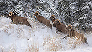 When the snow begins to fall in late autumn, groups of bighorn rams leave the high country of Yellowstone and head to the Shoshone National Forest where they winter. The low elevation meadows in the National Forest provide welcome forage for the bighorns, while the high peaks of the Absaroka range keep them safe from predators.