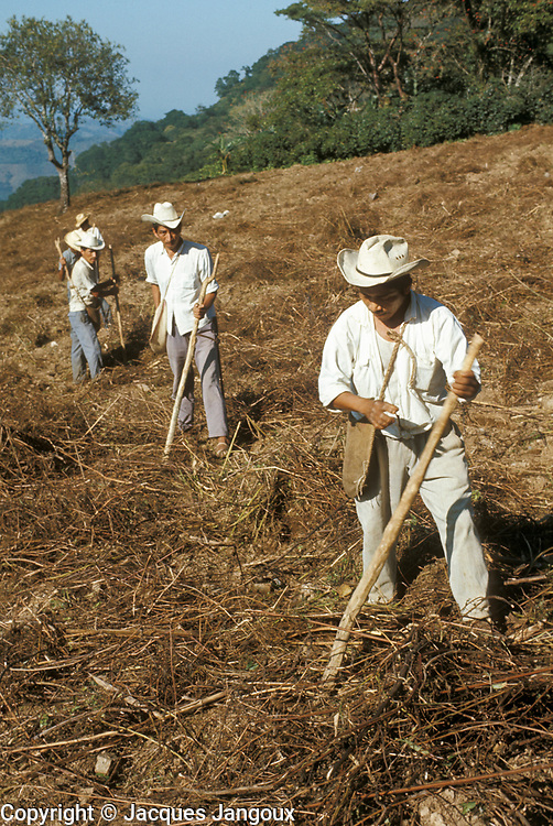 Mexico, Puebla State, Sierra de Puebla. Jonotla: Mexican Indian men sowing maize using digging sticks.