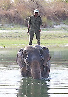 Nepali ranger standing on an elephant in a river, Bardiya National Park, Nepal