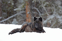 Wild black wolf in a winter blizzard