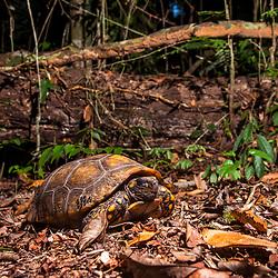 """""""Jabuti-tinga (Chelonoidis denticulata) fotografado em Linhares, Espírito Santo -  Sudeste do Brasil. Bioma Mata Atlântica. Registro feito em 2013.<br /> <br /> <br /> <br /> ENGLISH: Yellow-footed tortoise photographed in Linhares, Espírito Santo - Southeast of Brazil. Atlantic Forest Biome. Picture made in 2013."""""""