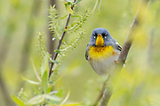 Northern Parula, Setophaga americana, male, Tuscola County, Michigan
